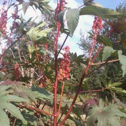 рицин кърлеж семена