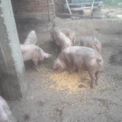 Домашни прасета готови за продан накрая на ноември