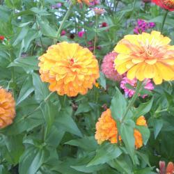продавам цветя Циния корени и семена реколта 2020 г.