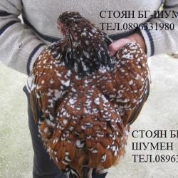 Продавам яйца за люпене и пилета от елитен порцеланов Орпингтон