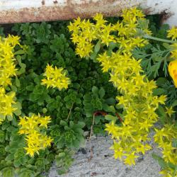 продавам ниски цветя за алеи, алпинеуми, корени