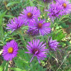 продавам цветя Астра корени за есенно засаждане