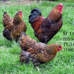 Продавам яйца за люпене и пилета от червено кантиран голям Виандот