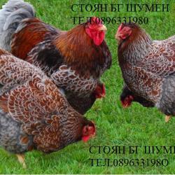 Продавам Яйца за Люпене от Голям Синъо Кантиран Виандот