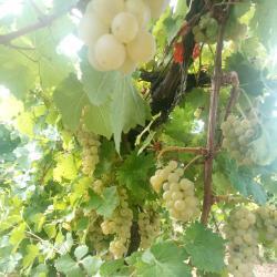 Грозде за вино и ракия сорт мускат отонел