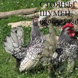 Продавам яйца за люпене и пилета от елитен Сребарен Зибрайт